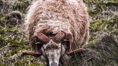 Boynuzlu koç ve hukuk katili modern cadı avcıları | İsmet Macit 5