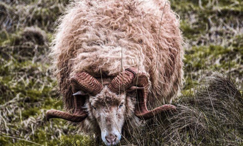 Boynuzlu koç ve hukuk katili modern cadı avcıları | İsmet Macit 1