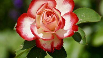 Gül kervanı-3   Zekeriya Çiçek 7