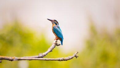Talih kuşu | Zekeriya Çiçek 1